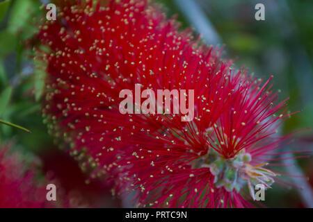 Bottle brush flower. Callistemon red bottle brush plant. - Stock Photo