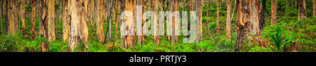 Boranup Forest Panorama - Stock Photo