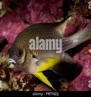 whitebelly damsel fish - Stock Photo