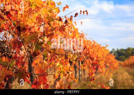 Margaret River Vineyard - Stock Photo