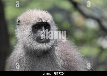 Close up of a Gray langur. - Stock Photo