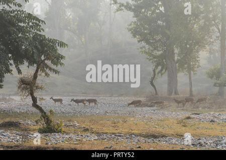 Deer run along the channel of the dried up river. Wildlife of India. natural habitat of wild deer. Rajaji Safari - Stock Photo