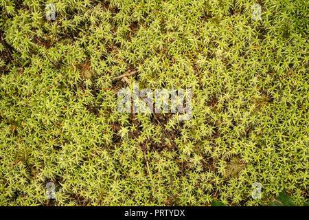 Close-up of moss, Cape Alava Trail, temperate rain forest, near Cape Alava, Pacific Coast, Olympic National Park, Washington state, USA - Stock Photo