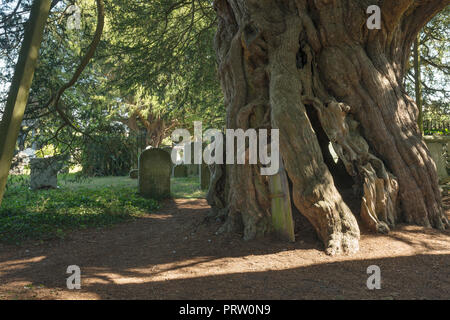 Ancient Yew tree, Taxus baccata, Crowhurst, St Georges Curuch, Surrey, with shingle spire, oldest tree in England 4000 years old - Stock Photo
