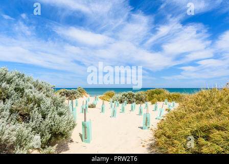 Ongoing dune stabilisation by protecting new plants using plastic tree shelters in a coastal ecosystem in Western Australia - Stock Photo