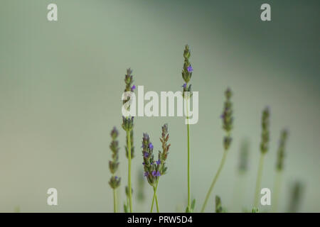 Heather flowers. Blooming heather flowers on the green meadow. green background. Selective focus. Copy space - Stock Photo