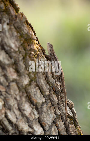 Striped Plateau Lizard, (Sceloporus virgatus).  Herb Martyr Canyon, Chiricahua mountains, Arizona, USA. - Stock Photo