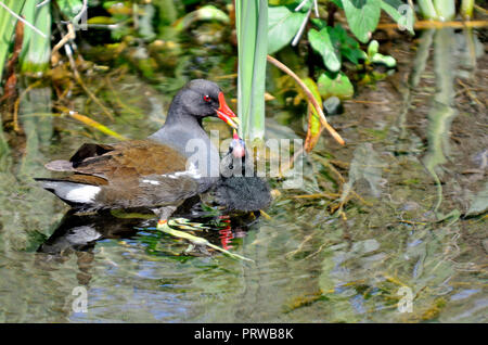 Moorhen (Gallinula chloropus) feeding its young - Stock Photo