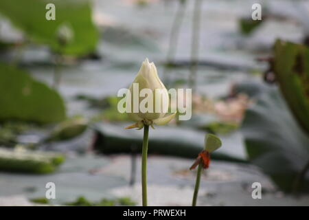 Picture of a flower from a beautiful pond.It look like a beauty of nature.This flower is a rare flower.Everyone attract on this flower for its beauty. - Stock Photo