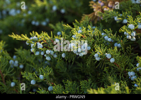 Branches of juniper with mature blue berries close-up macro - Stock Photo