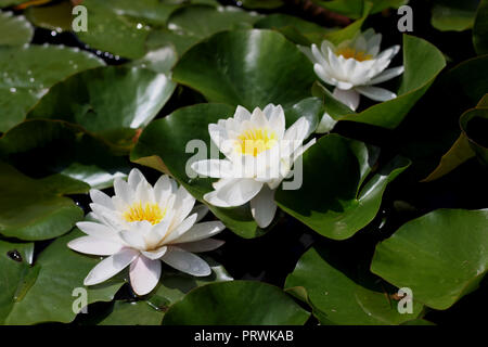 Bright white water lillies blooming. Flower background in natural environment - Stock Photo