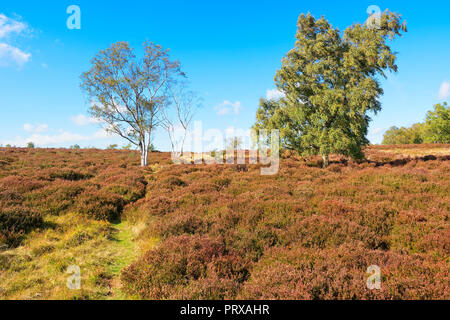Three Silver Birch trees stand on a gentle rise on Stanton Moor in the Derbyshire Dales - Stock Photo
