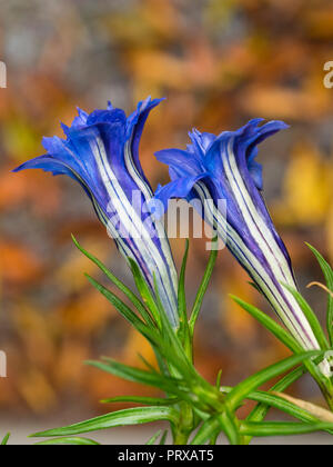 White lined blue double flowers of of the hardy, Autumn blooming alpine perennial gentian, Gentiana sino-ornata 'Eugens Allerbester' - Stock Photo
