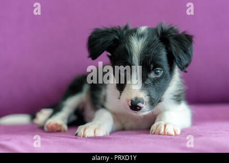 Cute black and white Border Collie puppy looks sleep in the couch. - Stock Photo