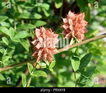 Suessholz, Glycyrrhiza glabra - Stock Photo