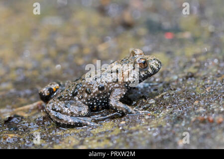 European fire-bellied toad (Bombina bombina) native to mainland Europe - Stock Photo