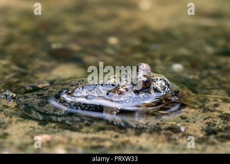 European fire-bellied toad (Bombina bombina) in puddle, native to mainland Europe - Stock Photo