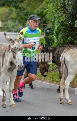 Runner in an amateur road and cross country running race navigates through donkeys on the road, New Forest, Hampshire, UK - Stock Photo