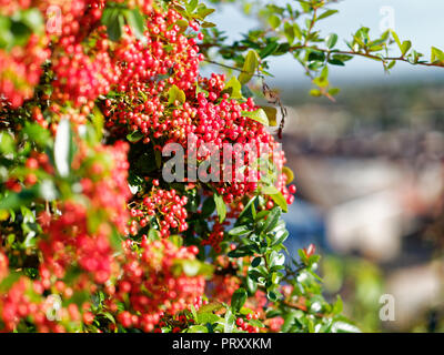 Red  Pyracantha  Berries, UK - Stock Photo