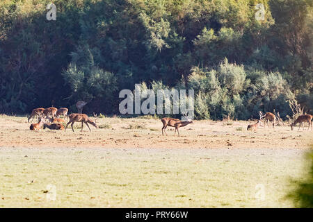 Deers during mating season in 'Doñana National Park' Donana nature reserve in El Rocio village at sunset - Stock Photo