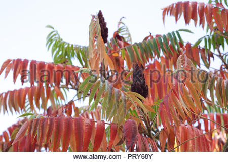 Rhus typhina. Stag's horn sumach in Autumn. - Stock Photo