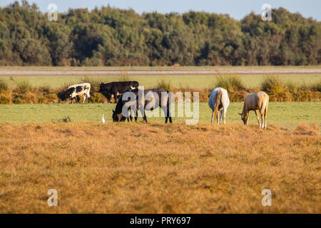 Purebred andalusian spanish horse on dry pasture in 'Doñana National Park' Donana nature reserve in El Rocio village at sunset - Stock Photo