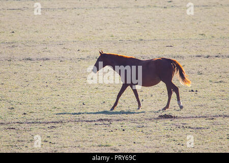 Purebred andalusian spanish horse standing on dry pasture at sunset - Stock Photo