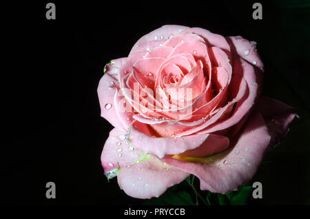 Beautiful Tea beige rose with drops of dew, on black background. - Stock Photo