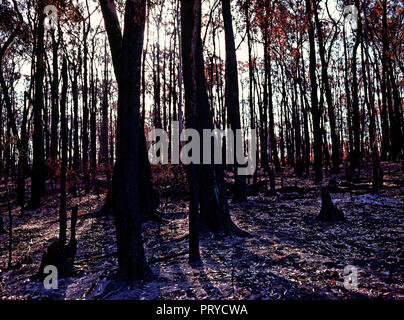 Burnt Trees and  Landscape from the Black Saturday Bushfires Victoria Australia 2009 - Stock Photo
