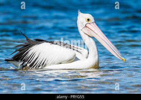 Australian pelican (Pelecanus conspicillatus), swimming in the water, South Australia, Australia - Stock Photo