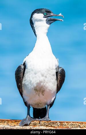 Black-faced cormorant (Phalacrocorax fuscescens), stands on wall, South Australia, Australia, Australia - Stock Photo