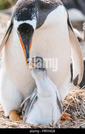 Mother and chick Gentoo penguin in Islas malvinas - Stock Photo