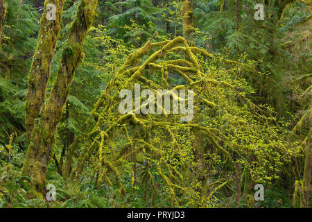 Mossy Middle Fork Trees, Middle Fork Snoqualmie River, North Bend, Washington State - Stock Photo