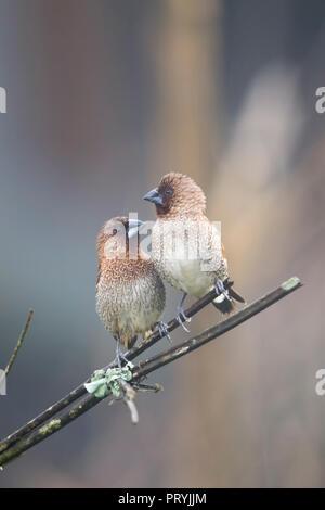 The Munia Couple - Scaly-breasted Munia - Stock Photo
