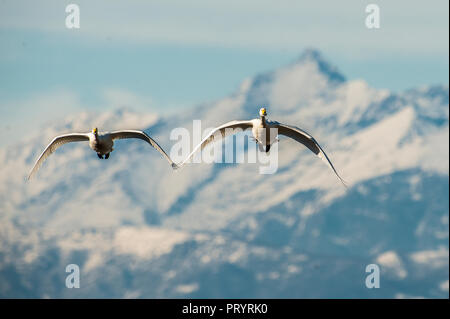 Italy, two whooper swans flying side by side - Stock Photo