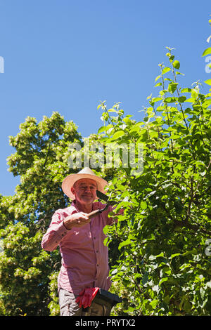 Gardener pruning twigs of apple tree with hedge trimmer - Stock Photo