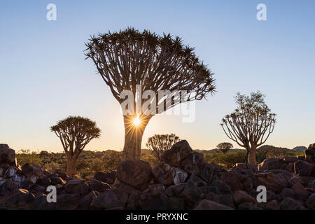 Africa, Namibia, Keetmanshoop, Quiver Tree Forest at sunset - Stock Photo