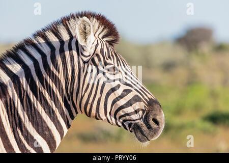 Africa, Namibia, Etosha National Park, Portrait of burchell's zebra, Equus quagga burchelli - Stock Photo