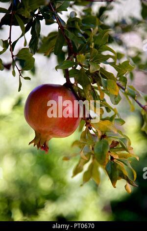 Pomegranate fruit on tree - Stock Photo