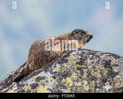 Alpine Marmot (Marmota marmota) sat on a lichen covered rock in the Tatra Mountains of Slovakia. - Stock Photo