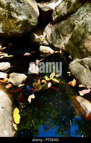 Stagnant freshwater pool steeped with tannins from leaves and bark, Dalrymple gap, QLD, Australia - Stock Photo