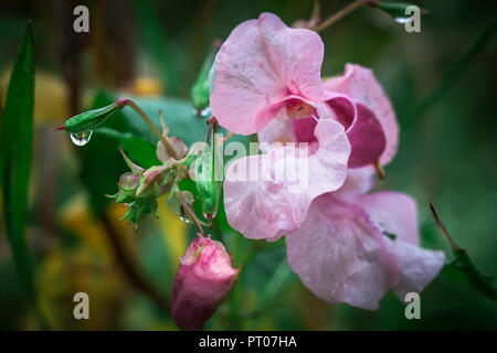 Flowers of impatient after rain - Stock Photo