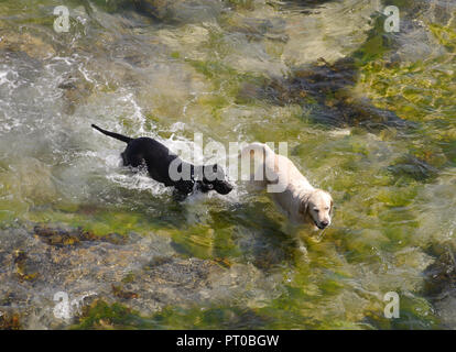 Two dogs play in beach pool - Stock Photo