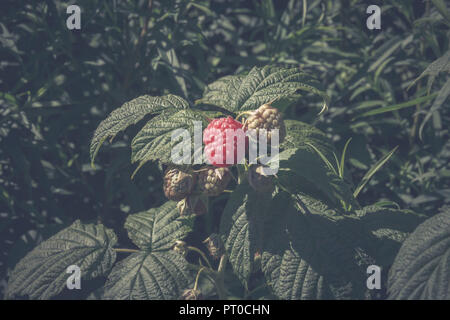 A ripe, large raspberry and other unripe fruits on a bush. - Stock Photo