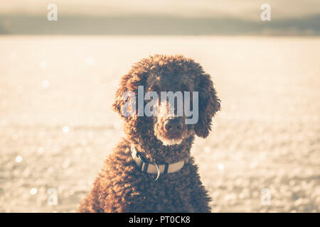 Portrait of a poodle waiting in the winter on the frozen lake. - Stock Photo