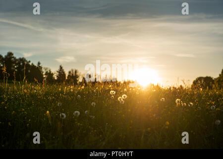 Lšwenzah, FrŸhlingswiese im Abendlicht, Eurasburg, Oberbayern, Bayern, Deutschland - Stock Photo