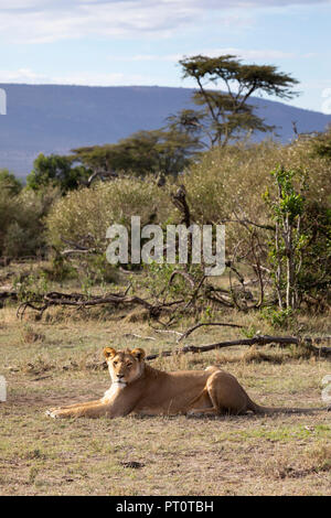 MAASAI MARA NATIONAL RESERVE, KENYA, AFRICA - Lioness lying down in early morning sunlight with African landscape behind in the Na - Stock Photo