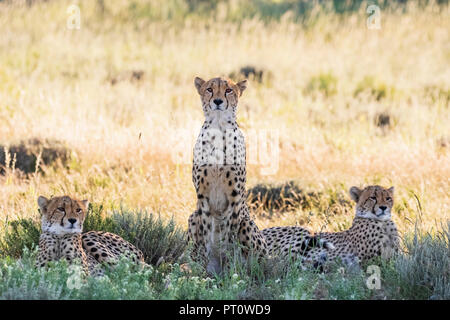 Botswana, Kgalagadi Transfrontier Park, Cheetahs, Acinonyx Jubatus - Stock Photo