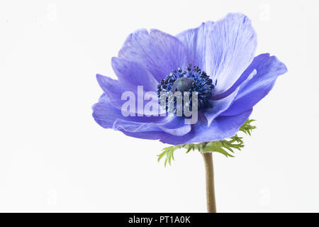 A single soft focus bloom of Anemone flower- Anemone deCaen. - Stock Photo