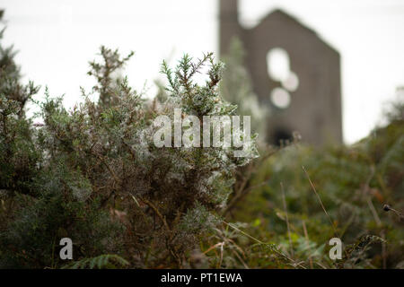 Branches of prickly gorse covered in many spiders' webs holding the droplets of recent rain against a dull sky and soft focus Cornish Tin Mine. - Stock Photo